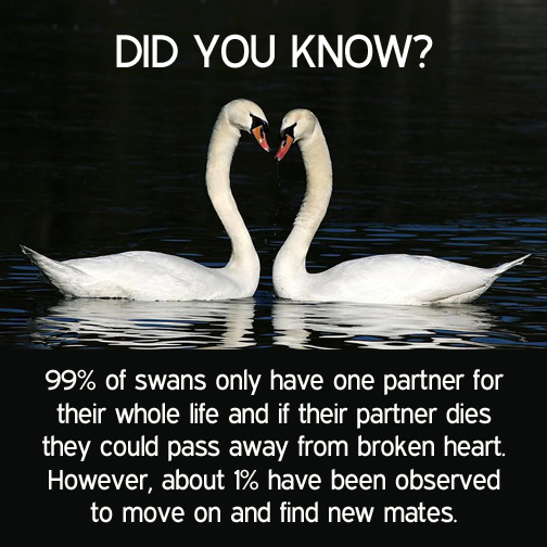 99% of swans only have one partner for their whole life